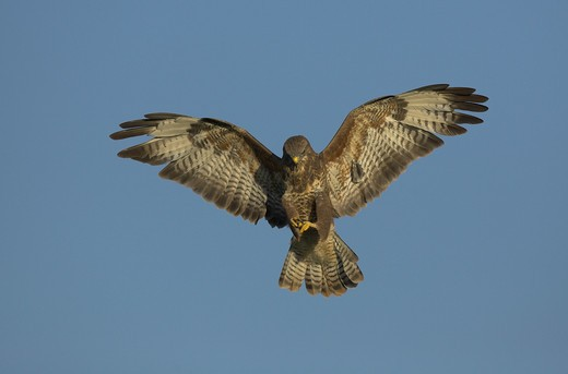 buzzard buteo buteo in flight gloucestershire. : Stock Photo