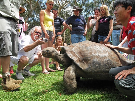 galapagos tortoise geochelone nigra captive specimen in australian zoo  : Stock Photo