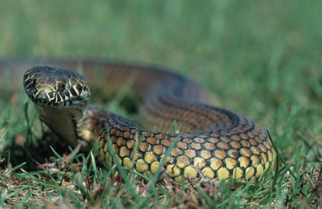 Stock Photo: 4141-26655 australian copperhead snake austrelaps superbus on grass