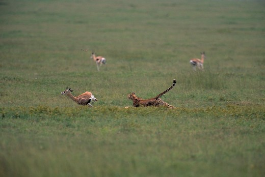Stock Photo: 4141-2685 cheetah chasing grant's gazelle acinonyx jubatus serengeti national park, tanzania