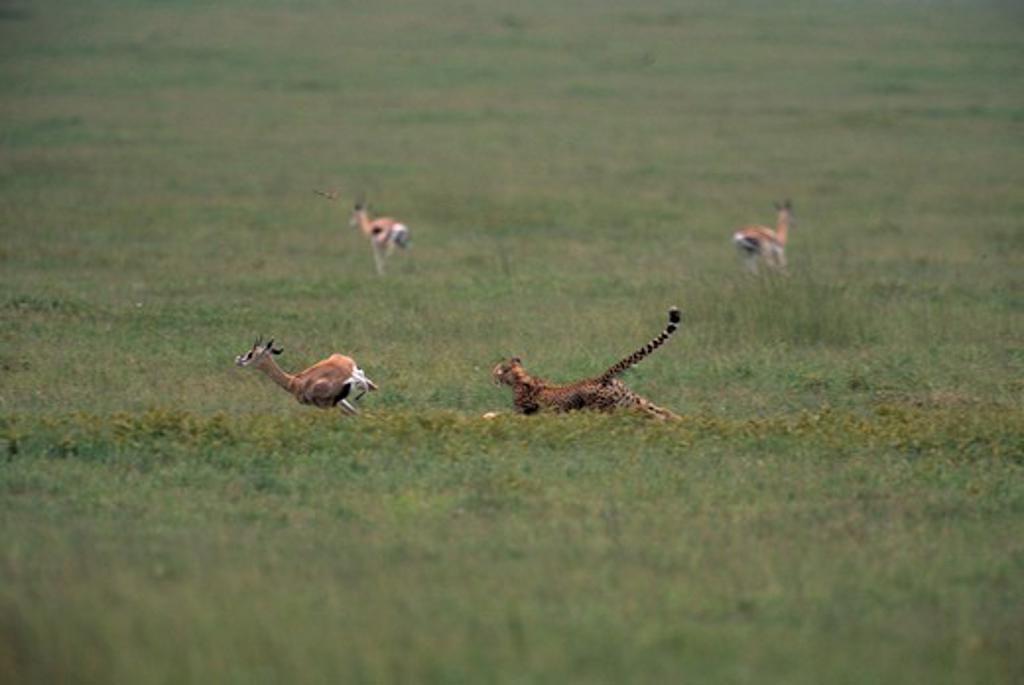cheetah chasing grant's gazelle acinonyx jubatus serengeti national park, tanzania  : Stock Photo