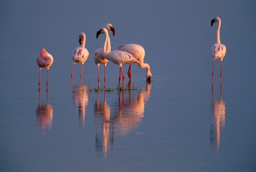 lesser flamingo group phoenicopterus minor serengeti national park, tanzania : Stock Photo