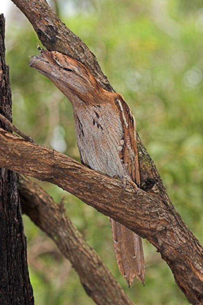 tawny frogmouth podargus strigoides northern australia form.  : Stock Photo