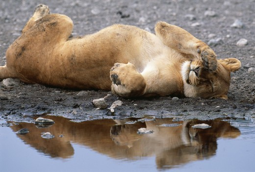 Stock Photo: 4141-2693 african lion panthera leo female resting by water serengeti natiional park, tanzania