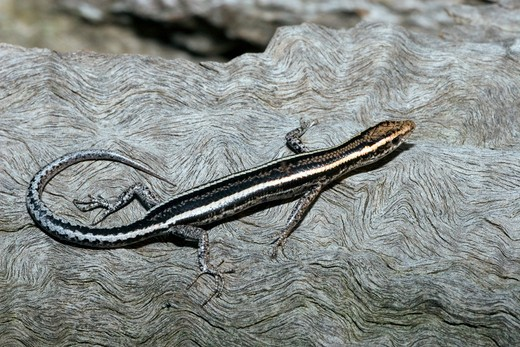 fence or wall skink cryptoblepharus virgatus eastern australian species : Stock Photo