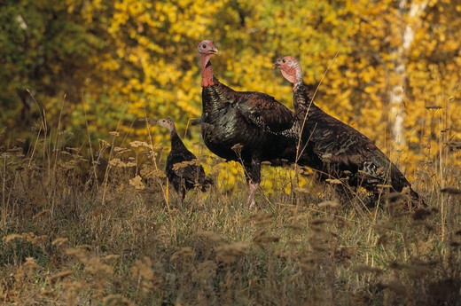 wild turkey meleagris gallopavo group of three north america  : Stock Photo