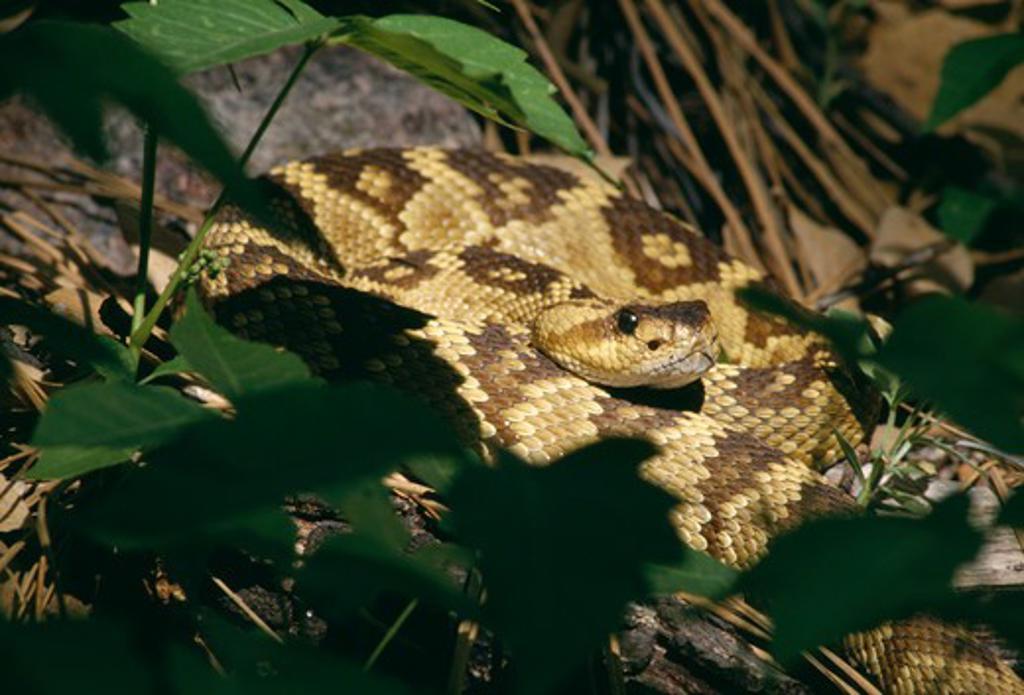 Stock Photo: 4141-27065 blacktail rattlesnake crotalus molossus molossus arizona, usa
