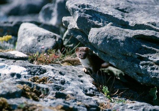 Stock Photo: 4141-27227 irish stoat at rock crevice mustela erminea hibernica