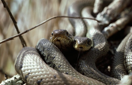 Stock Photo: 4141-27254 grass snake natrix natrix pair twined in courtship