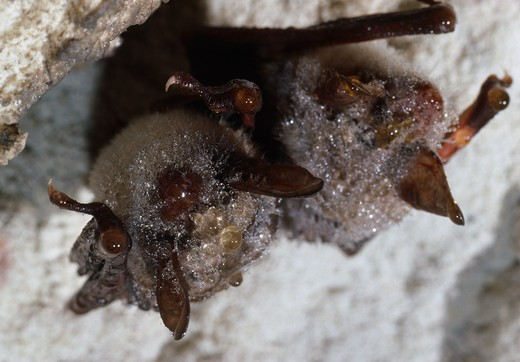 mouse-eared bats hibernating myotis myotis note condensation on fur  : Stock Photo