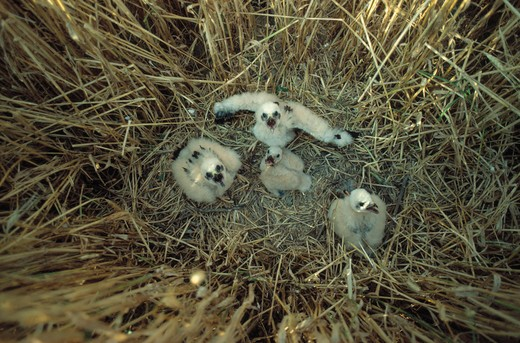 Stock Photo: 4141-27326 montagu's harrier circus pygargus four young in nest amongst barley crop, france