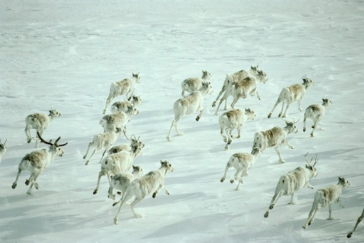 reindeer herd rangifer tarandus running across snow taimyr, siberia, russian arctic : Stock Photo
