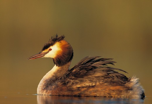 Stock Photo: 4141-27544 great crested grebe podiceps cristatus in breeding colours