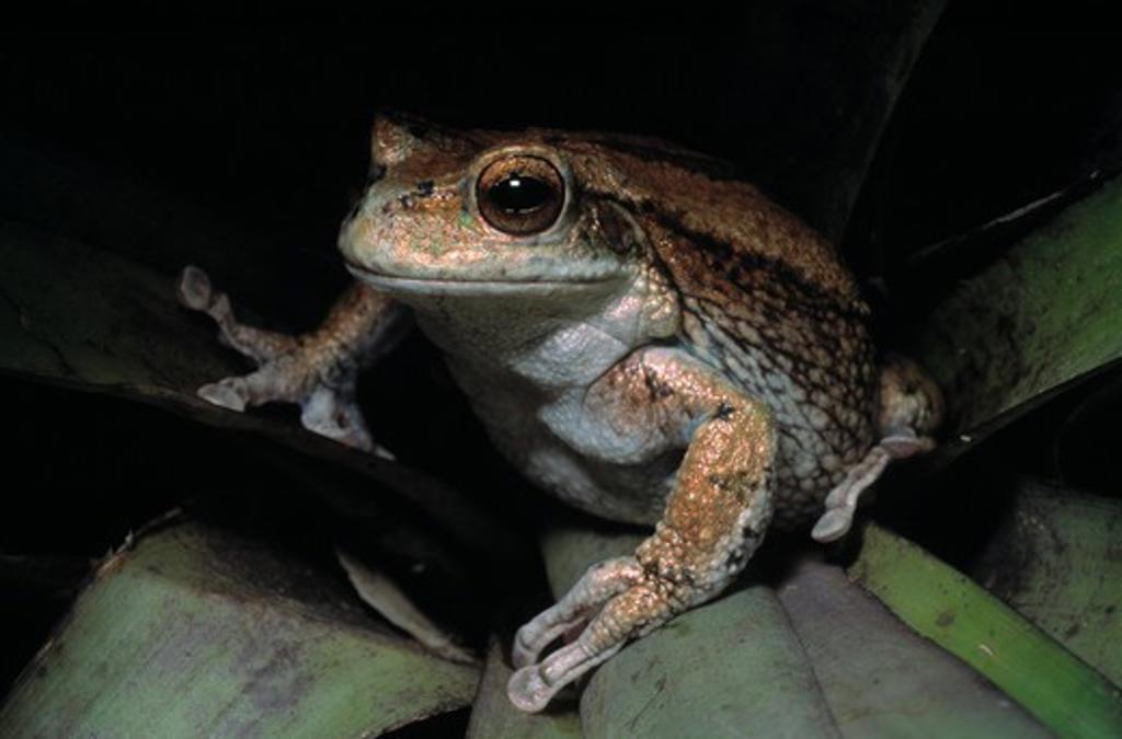 silver marsupial frog gastrotheca plumbea andes, loja province, ecuador  : Stock Photo