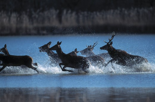 red deer cervus elaphus group running in shallows : Stock Photo