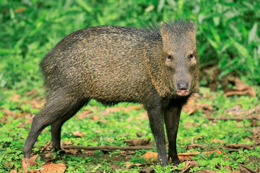 collared peccary tayassu tajacu la selva, lowland rainforest, costa rica : Stock Photo