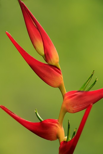 heliconia flower heliconia latispatha la selva, lowland rainforest, costa rica : Stock Photo