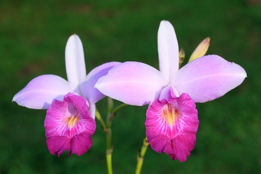 bamboo orchid arundina graminifolia costa rica : Stock Photo