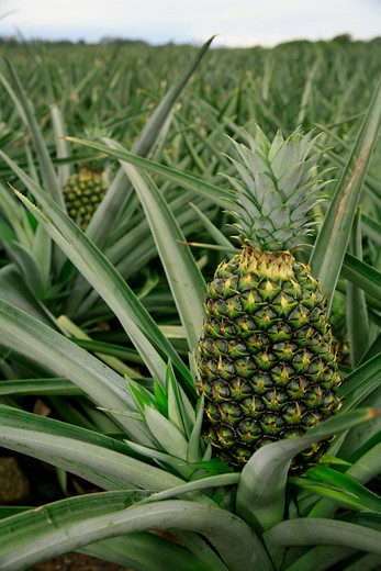 pineapple plantation ananas comosus sarapiqu', costa rica : Stock Photo