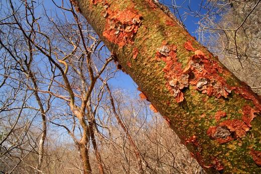 Stock Photo: 4141-27880 gumbo limbo or naked indian tree bursera simaruba during dry season, red bark peels to reveal green, photosynthetic bark beneath. palo verde national park, costa rica
