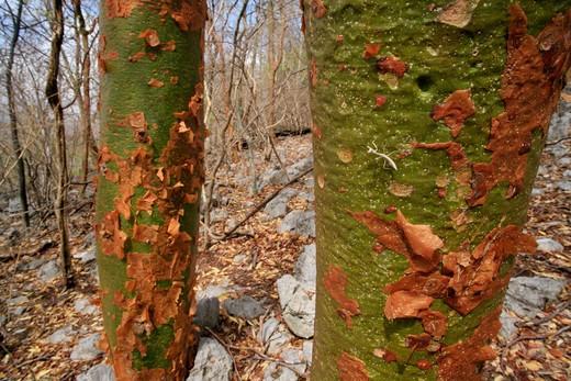 gumbo limbo or naked indian tree bursera simaruba during dry season, red bark peels to reveal green, photosynthetic bark beneath. palo verde national park, costa rica : Stock Photo