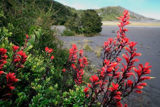 indian's paintbrush castilleja sp. irazœ volcano, costa rica : Stock Photo