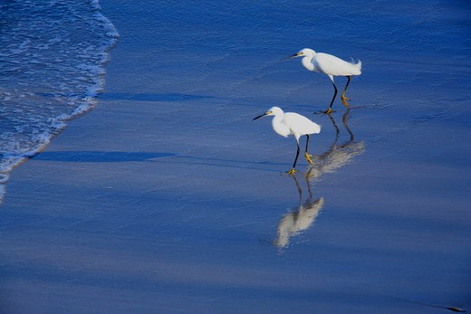 snowy egrets egretta thula las baulas marine national park, costa rica : Stock Photo