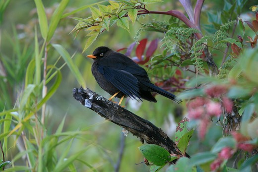 Stock Photo: 4141-27938 sooty robin turdus nigrescens chirrip— np, costa rica