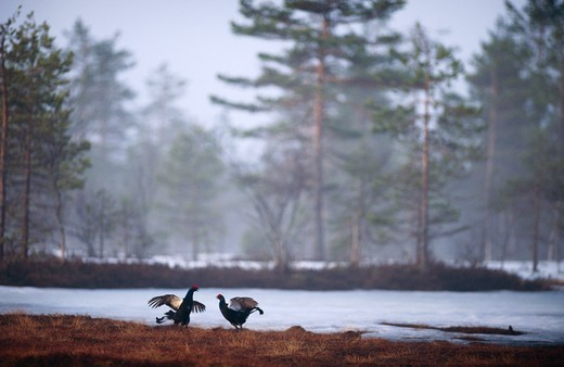 Stock Photo: 4141-28092 black grouse tetrao tetrix two males, displaying