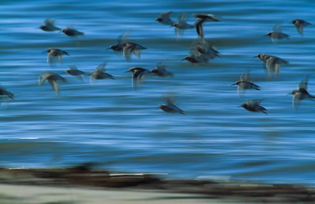 Stock Photo: 4141-28119 dunlin calidris alpina flock in flight