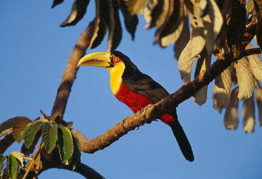 Stock Photo: 4141-2854 red-breasted toucan ramphastos dicolorus on branch serra da canastra national park, brazil