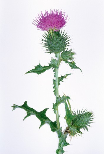 spear thistle cirsium vulgare (cut-out) uk : Stock Photo