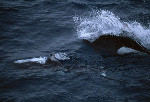 Stock Photo: 4141-2861 dall's porpoise at surface phocoenoides dalli bering sea, off aleutian islands, alaska, usa