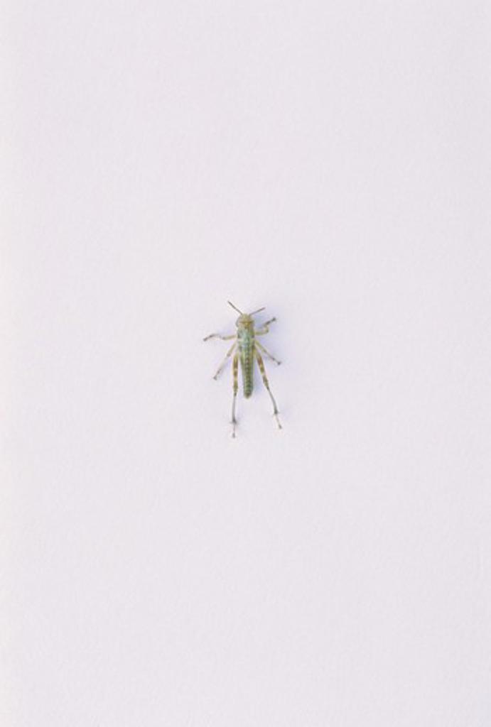 Stock Photo: 4141-28642 migratory locust locusta migratoria sequence of pictures showing development no.2 of 7 instar