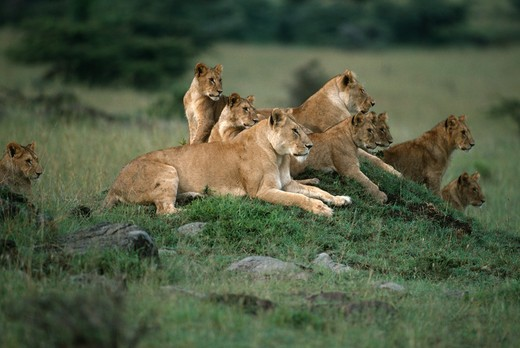 african lion females & young resting panthera leo while watching other females hunting kenya, eastern africa : Stock Photo