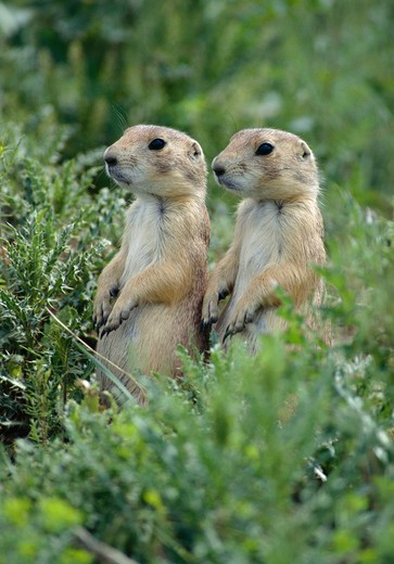 black-tailed prairie dogs cynomys ludovicianus two juveniles. montana, usa. : Stock Photo