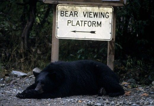 north american black bear ursus americanus resting in front of viewing platform sign, alaska. : Stock Photo