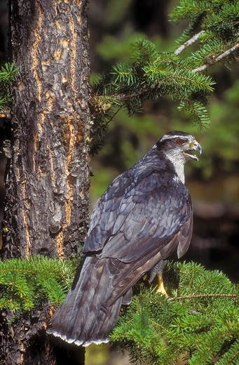 Stock Photo: 4141-29346 northern goshawk. rocky mountains. north america. (accipiter gentilis).