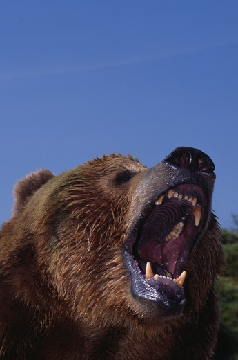 Stock Photo: 4141-29409 american brown or grizzly bear ursus arctos horribilis growling, head detail