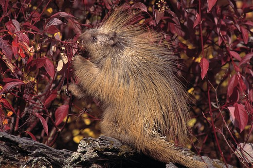 Stock Photo: 4141-29495 north american porcupine erethizon dorsatum eating autumn foliage