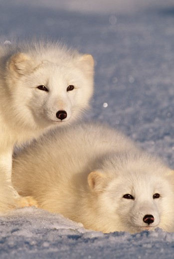 arctic fox male & female alopex lagopus winter, alaska, usa : Stock Photo