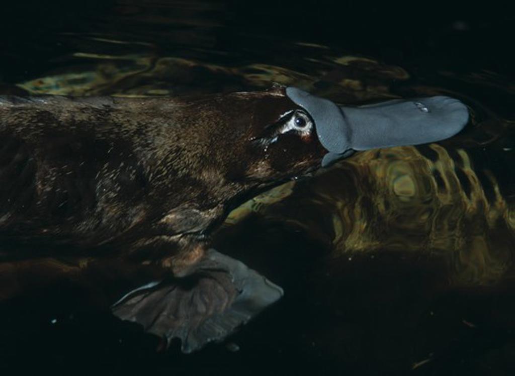 Stock Photo: 4141-2973 platypus or duck-billed platypus ornithorhynchus anatinus head detail. tasmania. egg-laying mammal