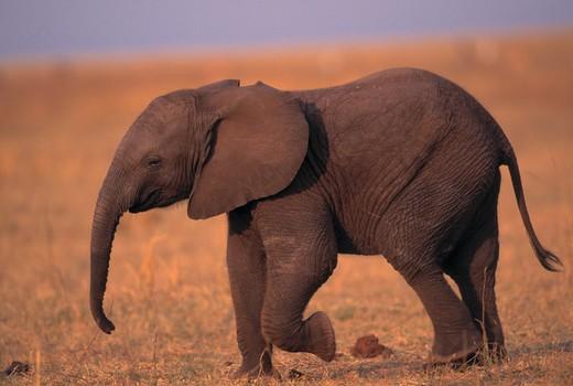 african elephant young loxodonta africana matusadona national park, zimbabwe : Stock Photo