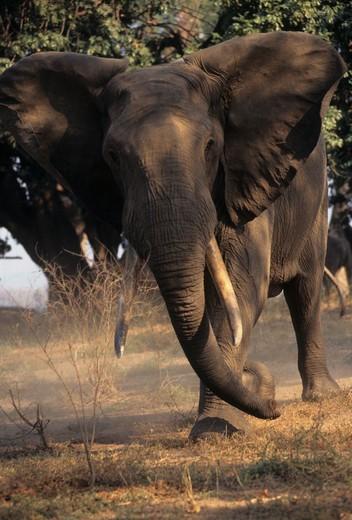african elephant male charging loxodonta africana mana pools national park, zimbabwe : Stock Photo