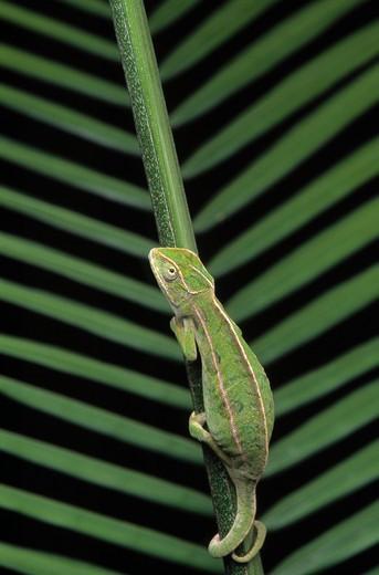 Stock Photo: 4141-29821 jewelled chameleon male chamaeleo lateralis on palm leaf. (captive animal).