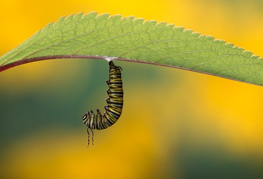 Stock Photo: 4141-29967 monarch butterfly caterpillar, danaus plexippus 5th instar, on joe-pye weed lifecycle sequence no. 1/12. n america