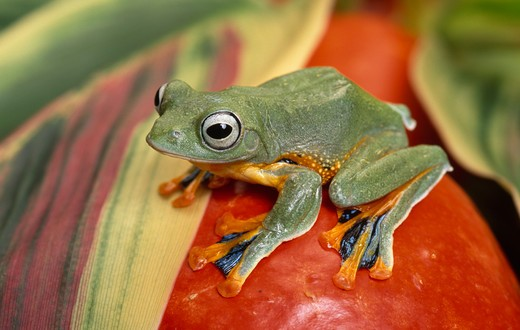Stock Photo: 4141-29986 reinwardt's flying frog rhacophorus reinwardtii captive animal. native to indochina, sumatra, java