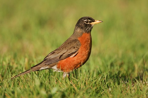 Stock Photo: 4141-30130 american robin turdus migratorius following spring migration across lake erie ontario, canada.