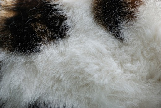 Stock Photo: 4141-30253 domestic cat felis catus fur essex
