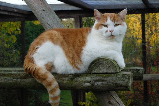 Stock Photo: 4141-30268 domestic cat felis catus on climbing frame in cattery, cat rescue, essex, uk
